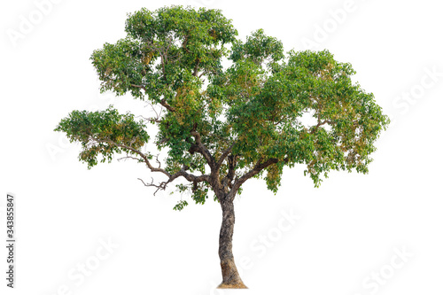 Fotografia Isolated of big almond tree or Thai 's name is grabok on white background with clipping path