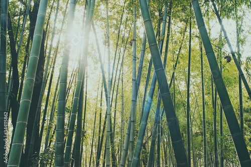 Fotomural Low Angle View Of Bamboos Growing In Forest