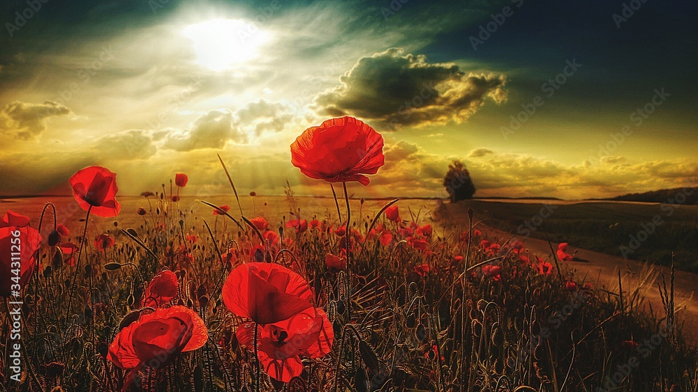 Red Poppy Flowers Blooming On Field During Sunset - obrazy, fototapety, plakaty