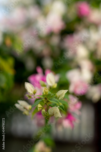 Canvas-taulu closeup shot of bougainvillaea flower with blur background