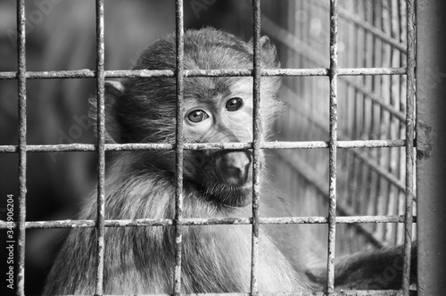 Leinwand Poster Greyscale shot of a sad monkey in a small old cage - conception : captivity