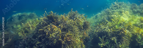 Photo underwater landscape reef with algae, sea north, view in the cold sea ecosystem