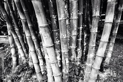 Fotografía Bamboos Growing In Forest