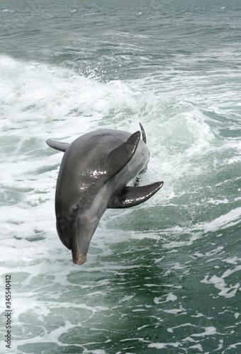 Canvastavla Doplhin Swimming In Sea