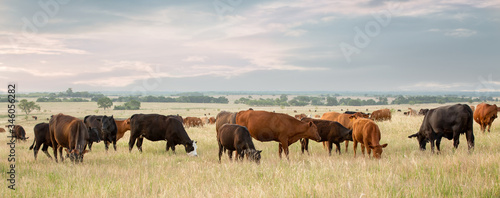 Obraz na plátne Cow and calf pairs grazing on pasture land before calves are weaned