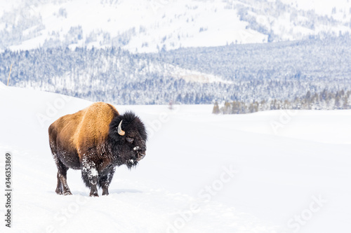 Foto Snowy bison covered in snow in Yellowstone National Parl