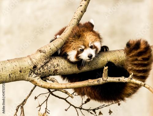 Fotografia Red Panda Relaxing On Tree Branch