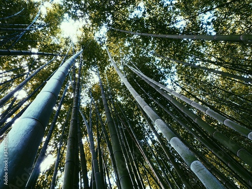 Fotografía Low Angle View Of Bamboos Growing In Forest