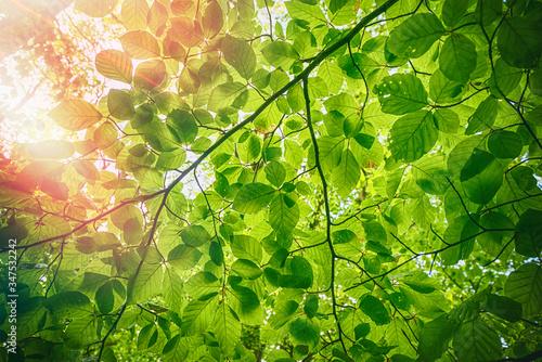 Fotografie, Tablou Fresh green beech leaves in the springtime