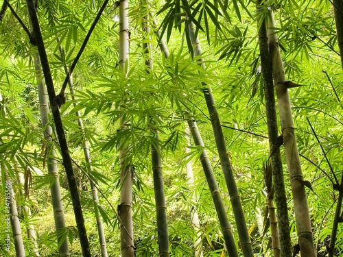 Fotomural Bamboos Growing In Forest