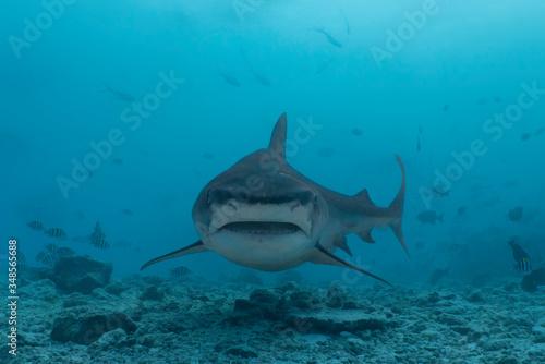 Carta da parati Tiger Shark Close Up in the Maledives
