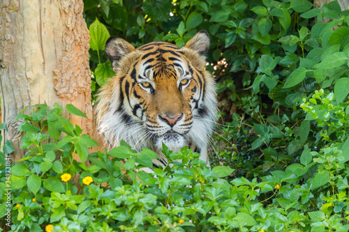Canvas Picture of bengal Tiger in forest