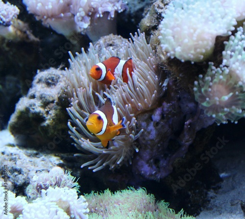 Fotografie, Tablou Pair Of Clownfish Relaxing On Coral In Fish Tank