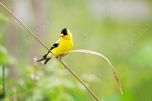 Canvas-taulu Close-up Of Goldfinch Perching On Stem