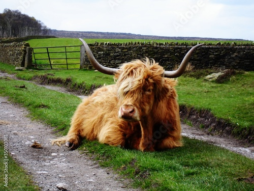 Fotografia Highland Cattle Resting On Grassy Field At Farm