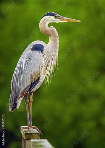 Canvastavla great blue heron 3