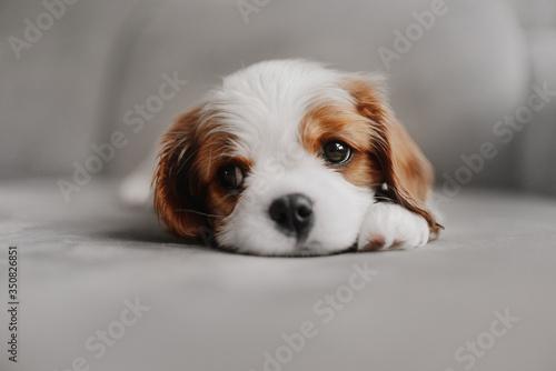 Valokuvatapetti cavalier king charles spaniel puppy lying down