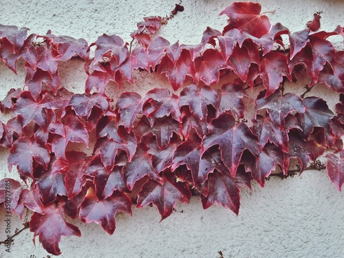 Red Creepers Growing On Wall During Autumn Fototapete