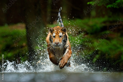 Leinwand Poster Amur tiger playing in the water, Siberia
