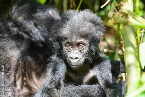 Billede på lærred Close-up Of Chimpanzees Infant In Forest