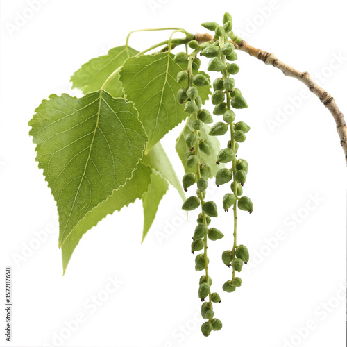 Vászonkép Branch of black poplar isolated on white