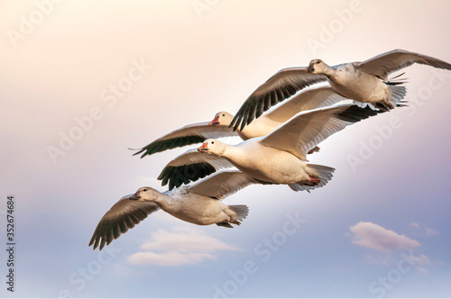 A Gaggle of Snow Geese Anser caerulescens in Flight Fototapet