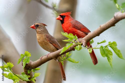 Fényképezés Northern Cardinal Pair in Spring