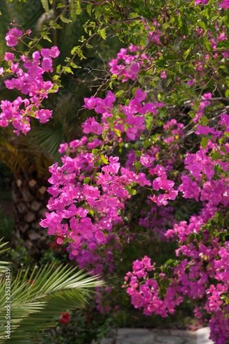 Canvas Print Blooming bougainvillea purple spring flower, branches closeup view