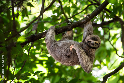 Fototapeta premium Funny sloth hanging on tree branch, cute face look, perfect portrait of wild animal in the Rainforest of Costa Rica scratching the belly, Bradypus variegatus, brown-throated three-toed sloth, relaxed