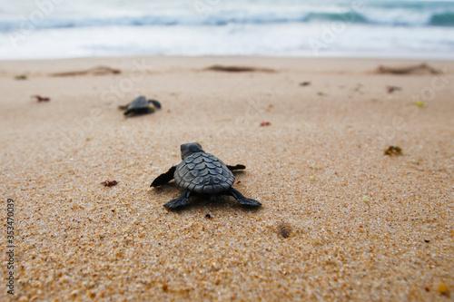 Fototapeta Hatchling baby loggerhead sea turtle (caretta caretta) crawling  to the sea afte