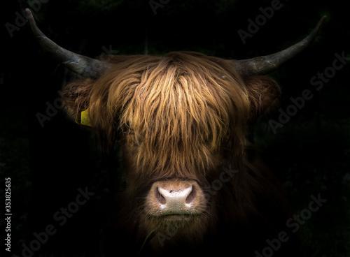 Tableau sur Toile Portrait of a scottish highland cow (Bos Taurus)
