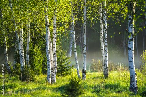 Photo Spring in the birch grove