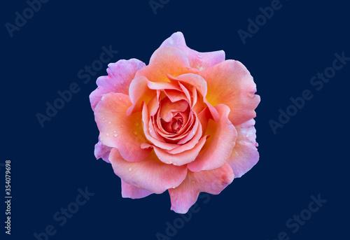 Fotografie, Obraz macro of an orange pink violet rose blossom on blue background, bright colored f
