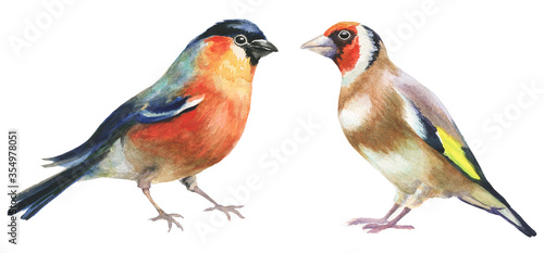 Leinwand Poster bullfinch and goldfinch watercolor birds on white