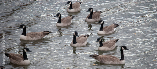 Fotografie, Obraz Gaggle of Canadian Geese On The Water