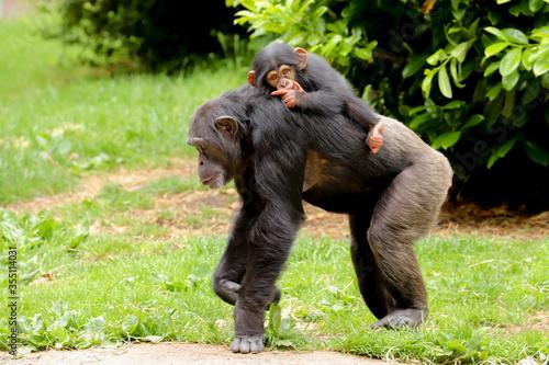 Slika na platnu A mother chimpanzee walking along with a cute baby riding on its back sucking it