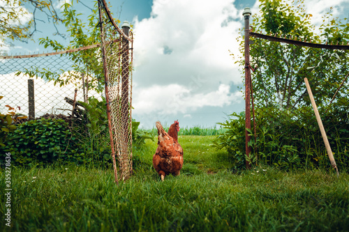 Fototapeta Free range breeding - Portrait of illuminated hen (new hampshire hen) standing in front of the fence on green grass with cloudy dark blue sky on background