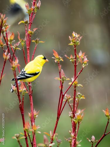 Tablou Canvas american goldfinch on red-twig dogwood