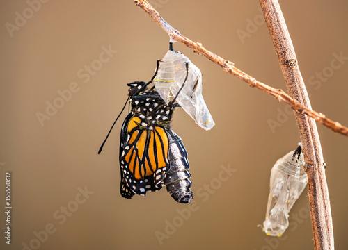 Monarch butterfly (danaus plexippus) emerging from the chrysalis on milkweed bra Fototapete