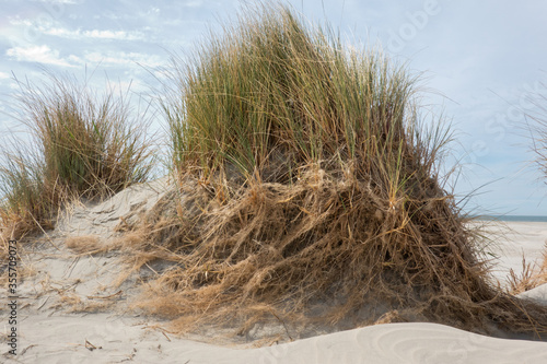Fotografie, Obraz Extensive underground root system of Marram grass becomes visible after erosion