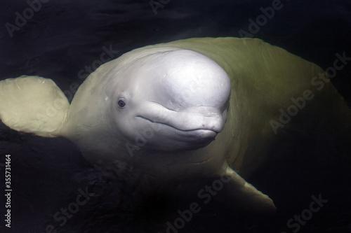 Friendly beluga whale up close Fototapeta