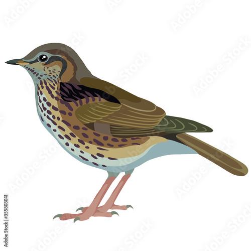 Fotografie, Obraz natural thrush bird, isolated object on white background, vector illustration,