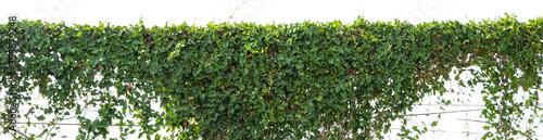 Fotografia ivy plant isolate on white background