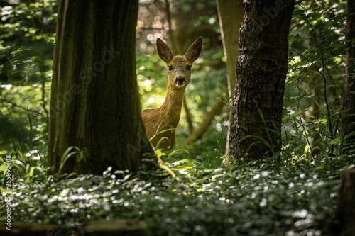 Valokuva curious deer