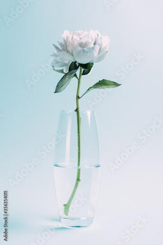ywhite peony in glass vase on blue background