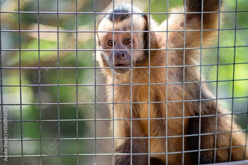 Capuchin monkey in cage at zoo. Fototapeta