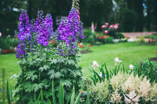 Blooming delphinium on a flowerbed in a park Fototapeta