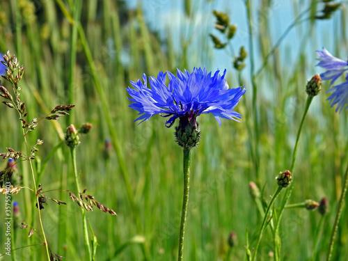 roslina o niebieskich kwiatach o nazwie chaber blawatek rosnaca przy drodze polnej w miejscowosci fasty na podlasiu w polsce