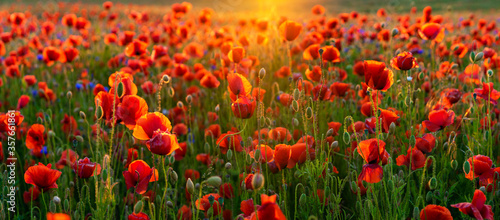 Obraz na plátně sunrise over the valley of blooming wild poppies, in the background the rising s