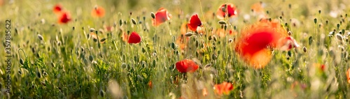 Canvas-taulu Poppy flowers in the field, Warsaw, Poland